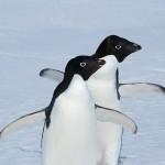 antarctica, kate mccombie, melbourne, photographer, penguins